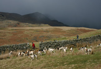 Coniston Foxhounds on the Fell