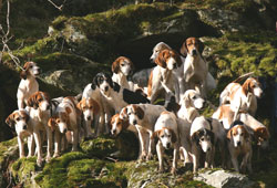 Coniston Foxhounds at Brock Crag