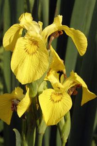 Iris - Nature pictures by Betty Fold Gallery