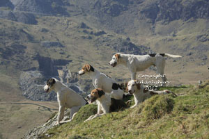 Fell Foxhounds in the English Lake District by Betty Fold Gallery