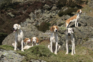 Foxhounds in Cumbria by Betty Fold Gallery of Hawkshead