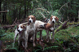 Foxhound Photographs by Betty Fold Gallery