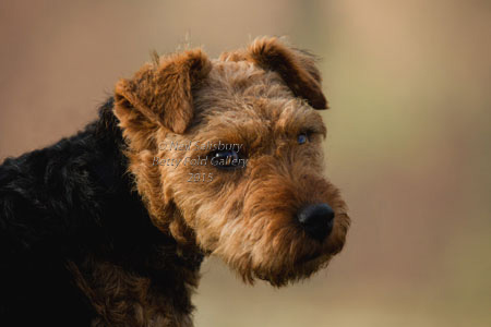Lakeland Terrier Photography by Betty Fold Gallery