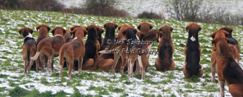 Old English Foxhound Photography by Betty Fold Gallery