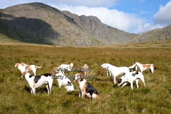 Coniston Foxhound Photography by Betty Fold Gallery
