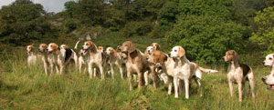Foxhounds in Lakeland