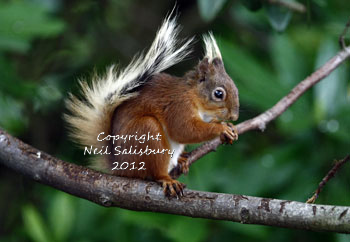 Red Squirrels at Betty Fold Gallery and Tea Room