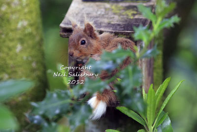 Red Squirrel photographs by Betty Fold Gallery at Hawkshead Cumbria