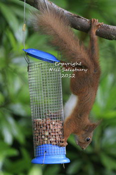 Red Squirrel photography by Betty Fold Gallery Hawkshead Cumbria English Lake District