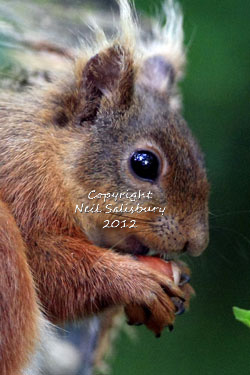 Red Squirrels at Betty Fold Hawkshead Hill Cumbria