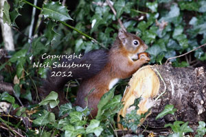 Images of Red Squirrels by Betty Fold Gallery Hawkshead Cumbria
