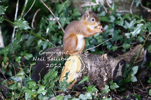 Red Squirrel Photography by Neil Salisbury Photographer of Betty Fold Gallery