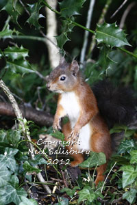 Red Squirrels at Hawkshead in Cumbria by Betty Fold Gallery