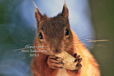 Red Squirrel Photography at Betty Fold Hawkshead Hill in Cumbria