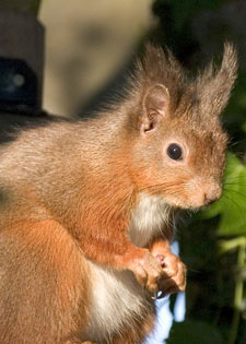 Red Squirrel photos by Betty Fold Gallery