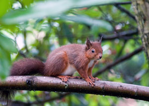 Red Squirrel image by Neil Salisbury
