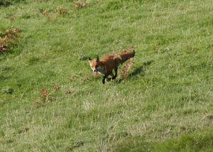 Fox by Lakeland photographer, Neil Salisbury