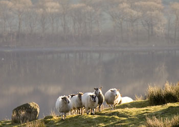 Lakeland Sheep on the fell by Betty Fold Gallery