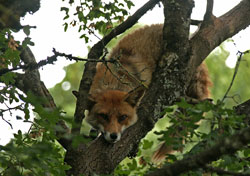 Fox in tree by Neil Salisbury