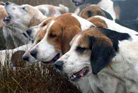 Close up of fell hounds by Neil Salisbury