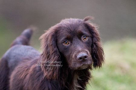 Cocker Spaniel Photography By Betty Fold Gallery Hawkshead Cumbria