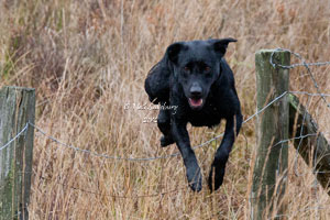 Gundog Images by Betty Fold Gallery