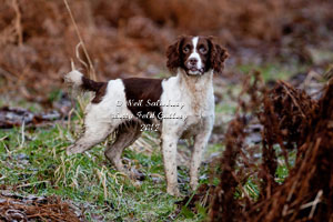 Springer Spaniel photography by Neil Salisbury Photographer Hawkshead Cumbria