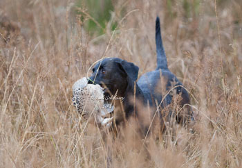 Gundog Photography by Neil Salisbury Betty Fold Gallery