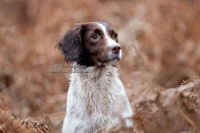 Springer Spaniel by Betty Fold Gallery