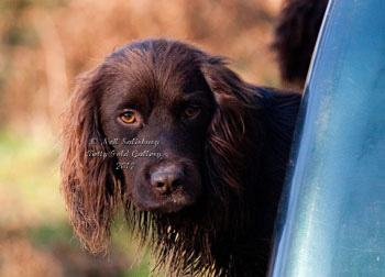 Gundog photography by Betty Fold Gallery of Hawkshead Cumbria
