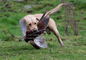Labrador Retriever photography by Betty Fold Gallery