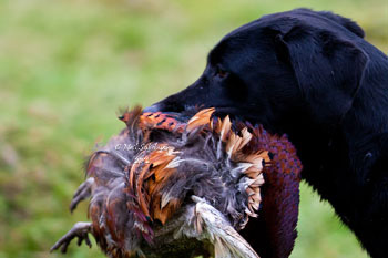 Pheasant Shooting Photography by Betty Fold Gallery