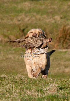 Gundog Pictures by Betty Fold Gallery Hawkshead Cumbria