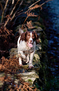 Springer Spaniel images by Neil Salisbury Betty Fold Gallery