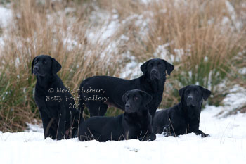 Labrador photography by Betty Fold Gallery