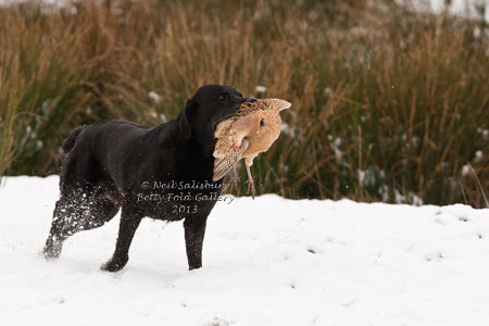 Labrador Retrievers by Countryside Photographer Neil Salisbury Betty Fold Gallery