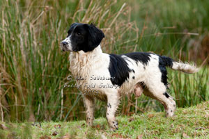 Gundog Pictures from Shooting Photographer Neil Salisbury