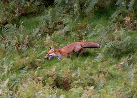 A Fine Fell Fox by Neil Salisbury