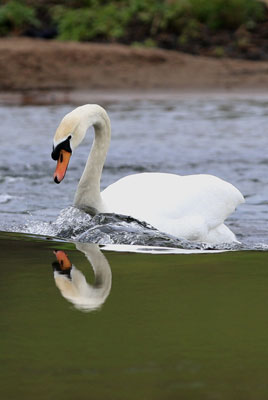 Swan reflection by Neil Salisbury