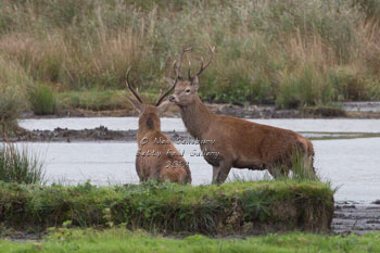 Red Deer photography by Betty Fold Gallery Hawkshead Cumbria