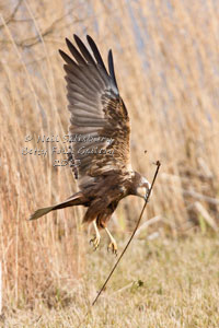 Marsh Harrier by Betty Fold Gallery Hawkshead