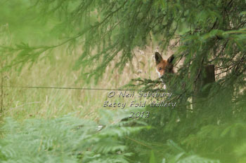 Fox Photography by wildlife photographer Neil Salisbury Betty Fold Gallery