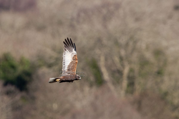 Marsh Harrier Images by Betty Fold Gallery