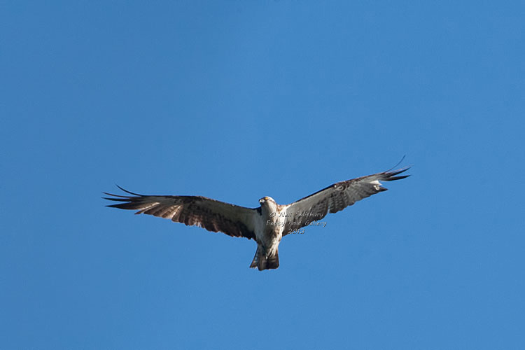 Osprey Photography in the Lake District by Betty Fold Gallery