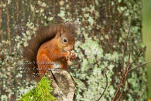 Red Squirrel Photography by Neil Salisbury of Hawkshead Cumbria