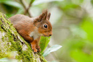 Red Squirrel Photography by Neil Salisbury of Betty Fold Gallery