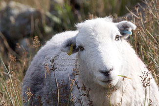 Herdwick Photographs by Betty Fold Gallery