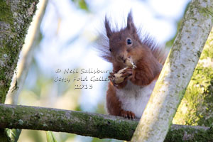 Red Squirrel Photographs by Betty Fold Gallery Hawkshead