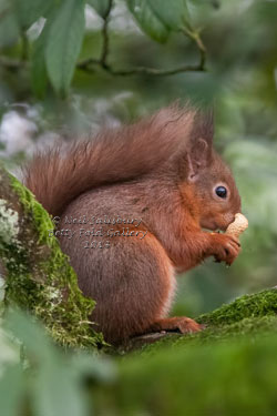 Red Squirrel Photography by Wildlife Photographer Neil Salisbury