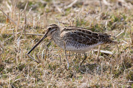 Snipe Photography by Betty Fold Gallery Hawkshead Cumbria